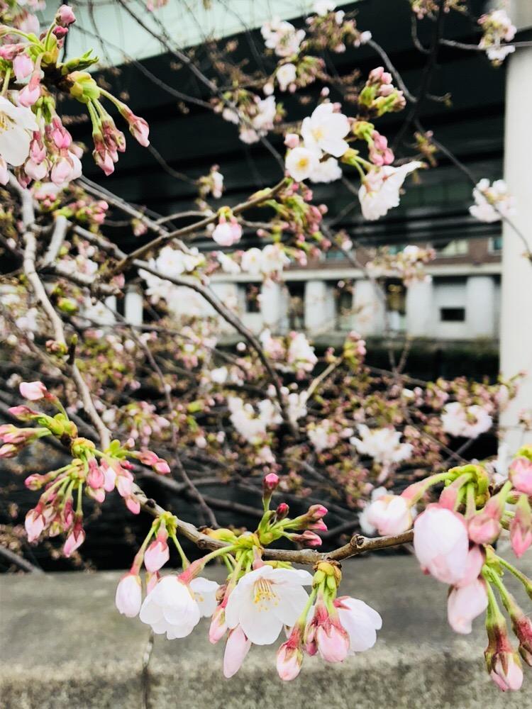 日本橋 桜